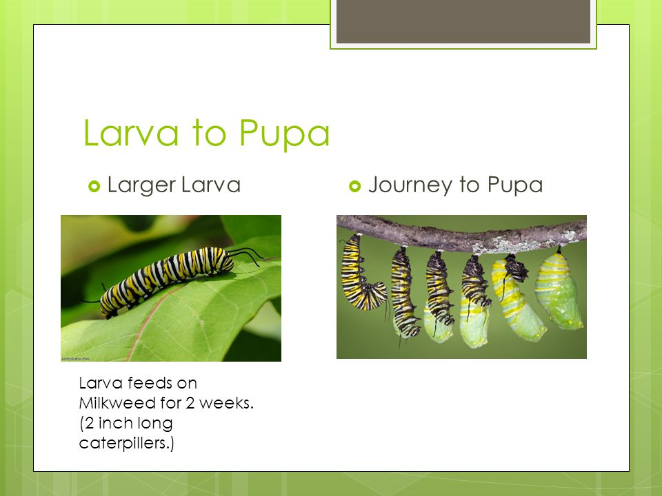 From Pupa to Adult  Closed Pupa  Coming Out.Spends 2 weeks in the pupa.