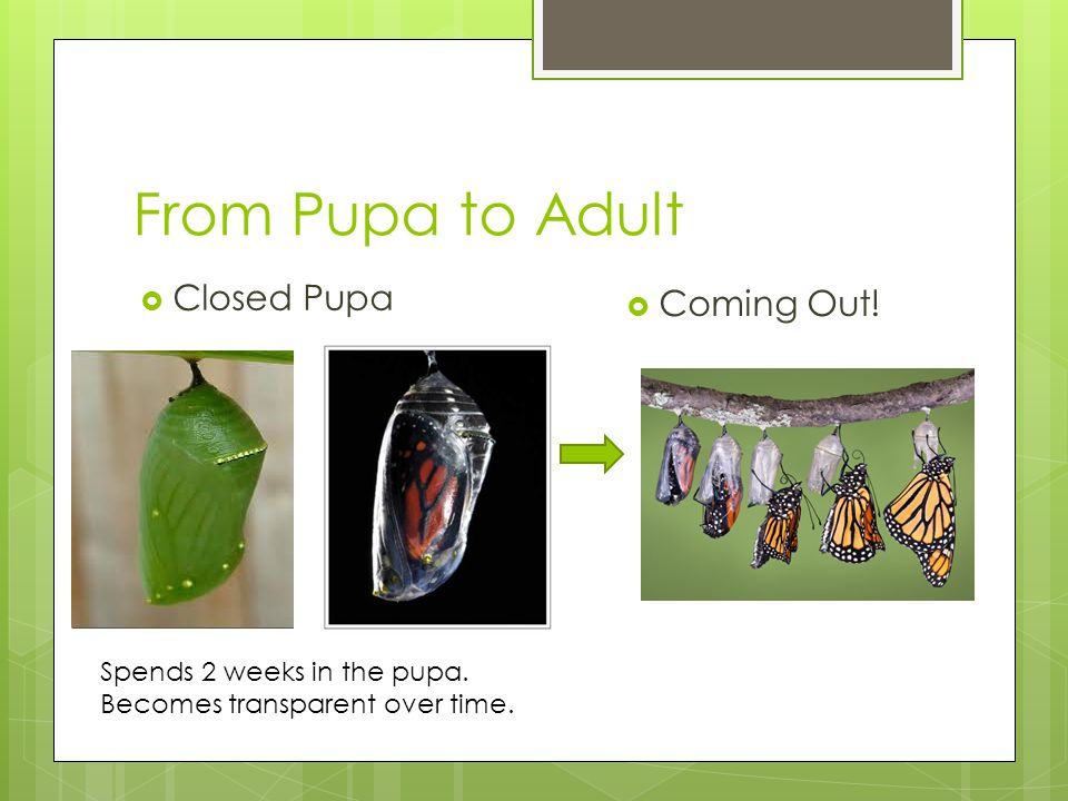 From Pupa to Adult  Closed Pupa  Coming Out! Spends 2 weeks in the pupa. Becomes transparent over time.