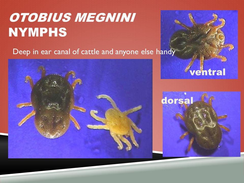OTOBIUS MEGNINI NYMPHS ventral dorsal Deep in ear canal of cattle and anyone else handy