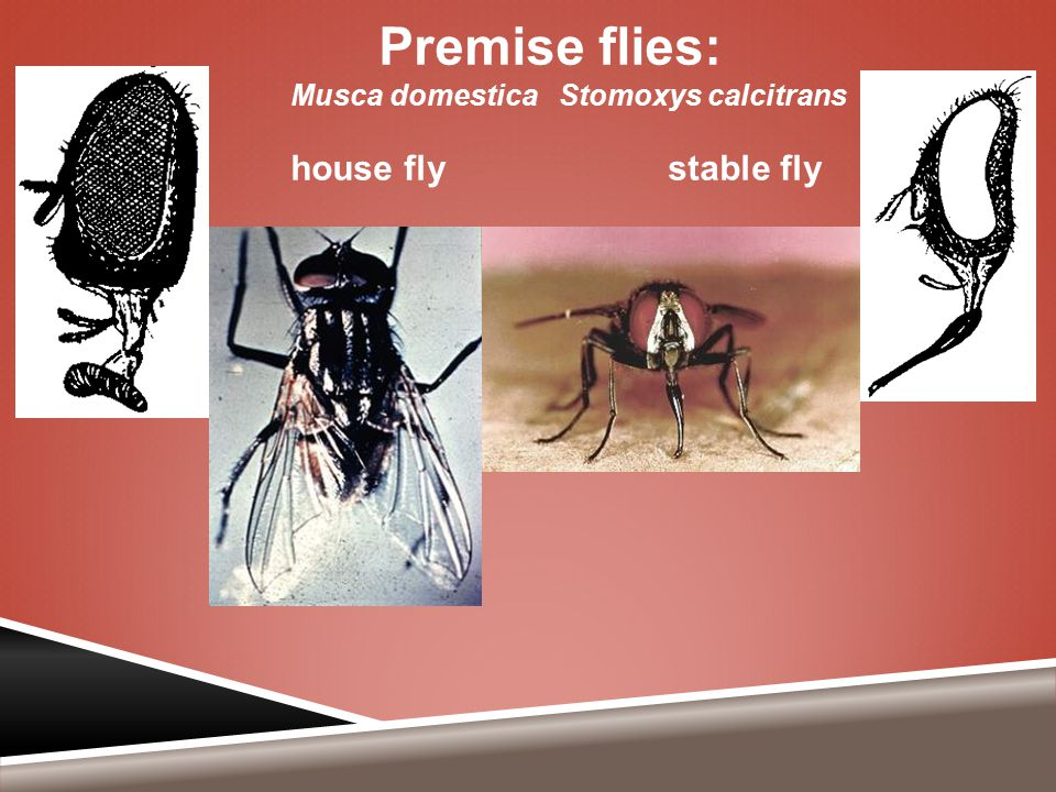Premise flies: Musca domestica Stomoxys calcitrans house fly stable fly