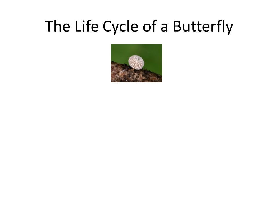 The Life Cycle of a Butterfly egg larva chrysalisbutterfly emerging from chrysalis