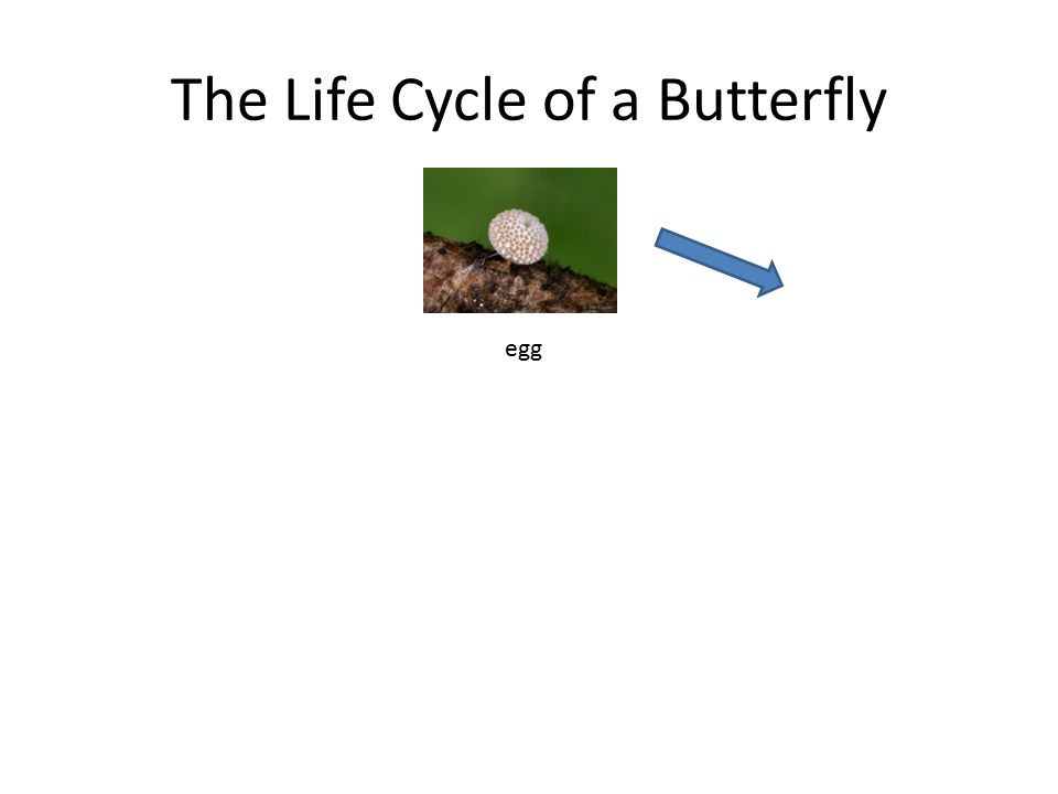 The Life Cycle of a Butterfly egg larva chrysalisbutterfly emerging from chrysalis butterfly