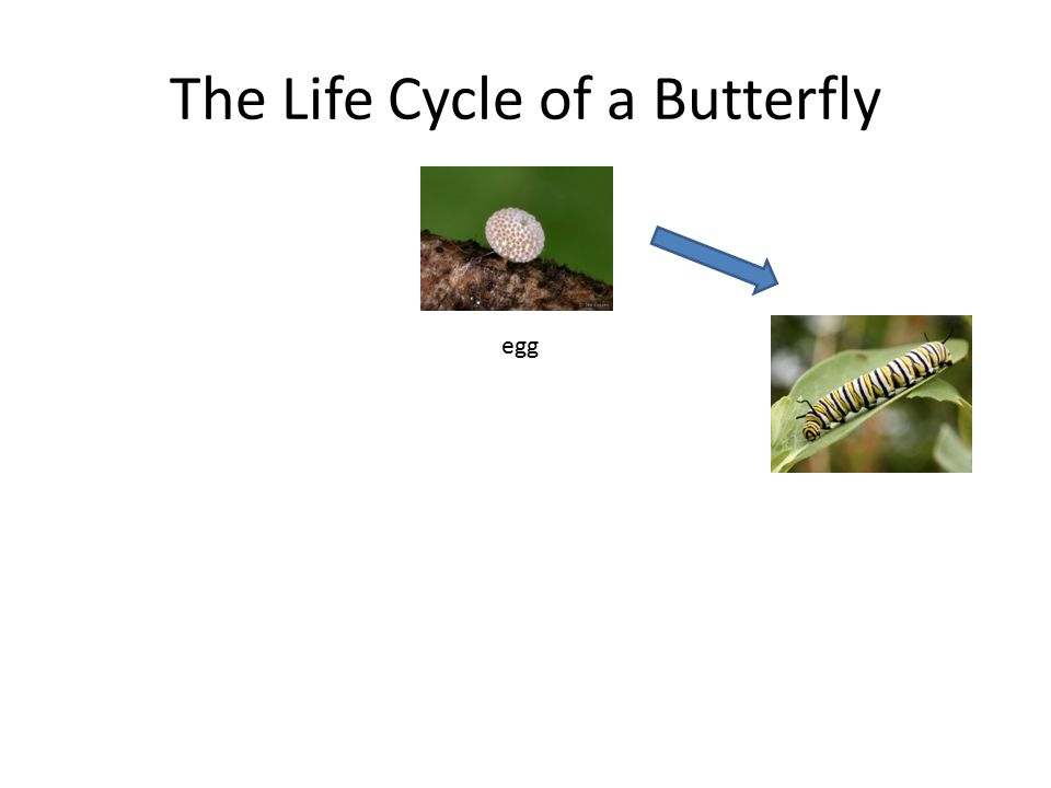 The Life Cycle of a Butterfly egg larva