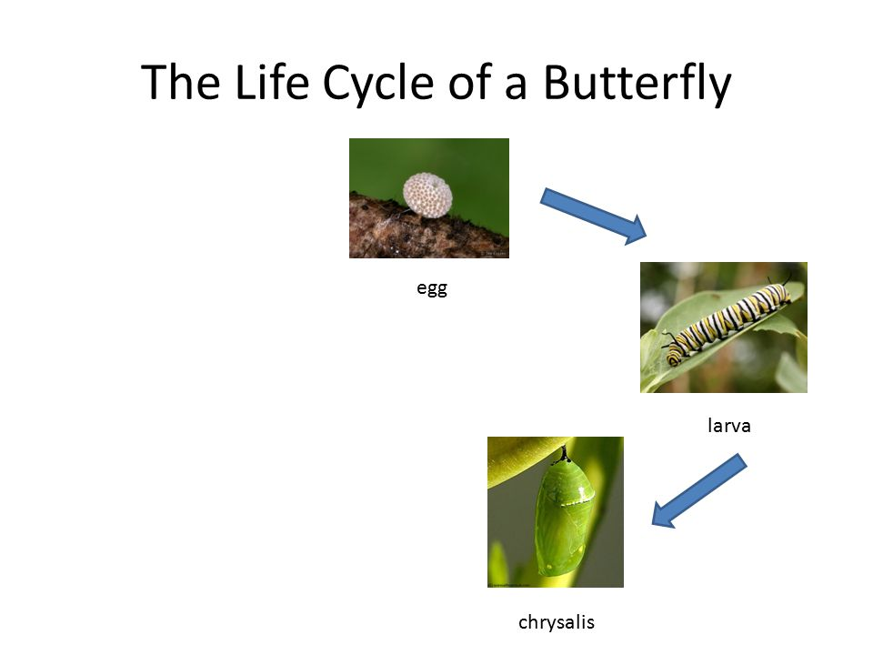 The Life Cycle of a Butterfly egg larva chrysalis