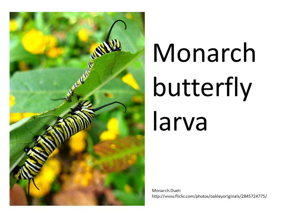 Monarch butterfly larva Monarch Duet: http://www.flickr.com/photos/oakleyoriginals/2845724775/