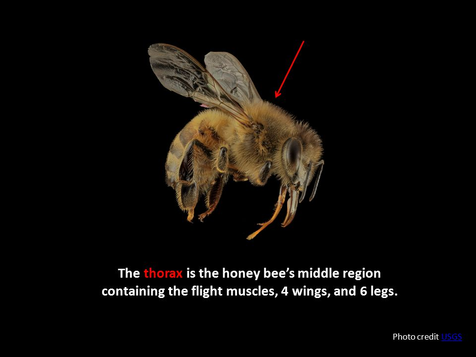 The thorax is the honey bee's middle region containing the flight muscles, 4 wings, and 6 legs.
