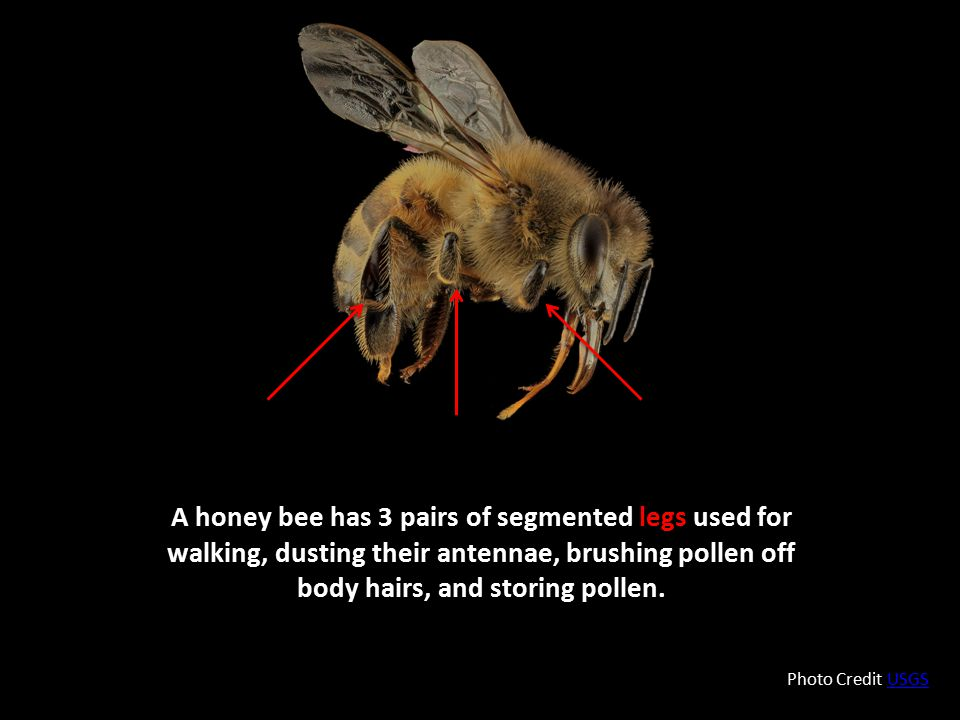 A honey bee has 3 pairs of segmented legs used for walking, dusting their antennae, brushing pollen off body hairs, and storing pollen. Photo Credit U