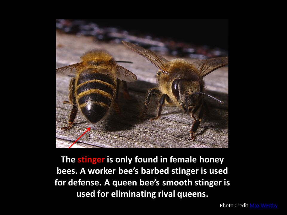 The stinger is only found in female honey bees. A worker bee's barbed stinger is used for defense. A queen bee's smooth stinger is used for eliminatin