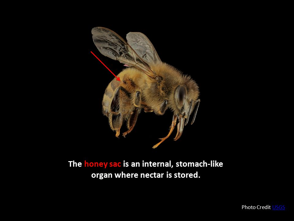 The honey sac is an internal, stomach-like organ where nectar is stored. Photo Credit USGSUSGS