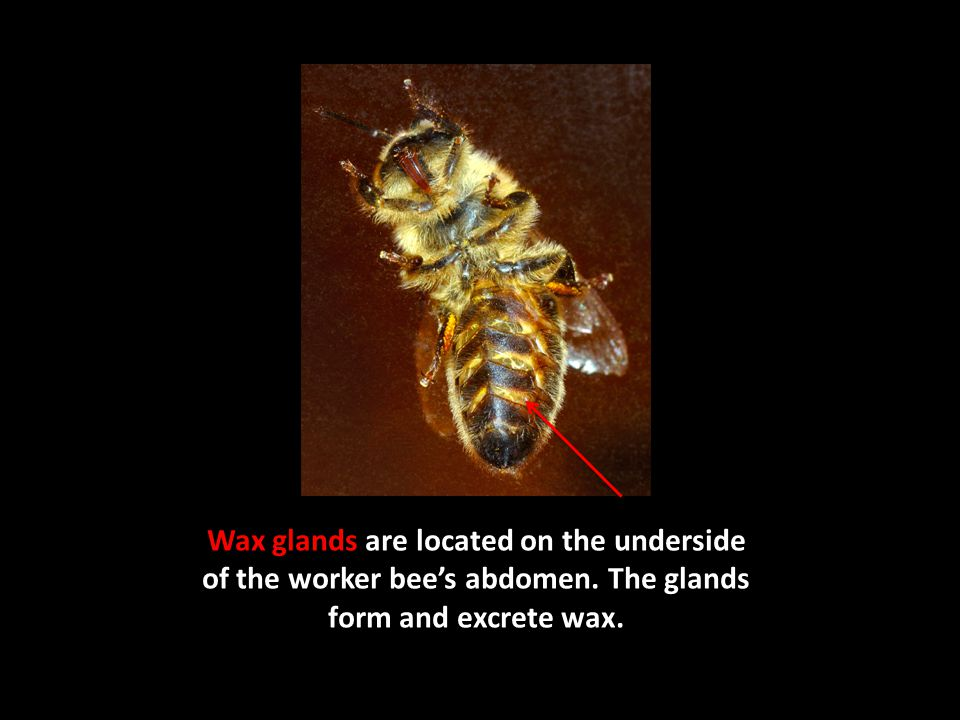 Wax glands are located on the underside of the worker bee's abdomen.
