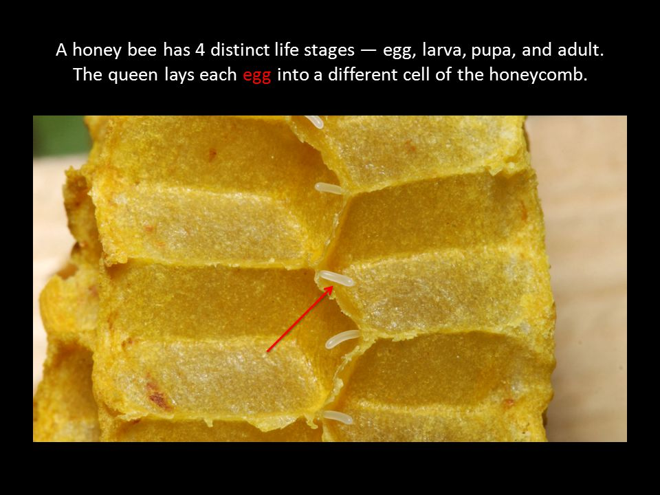 A honey bee has 4 distinct life stages — egg, larva, pupa, and adult. The queen lays each egg into a different cell of the honeycomb.
