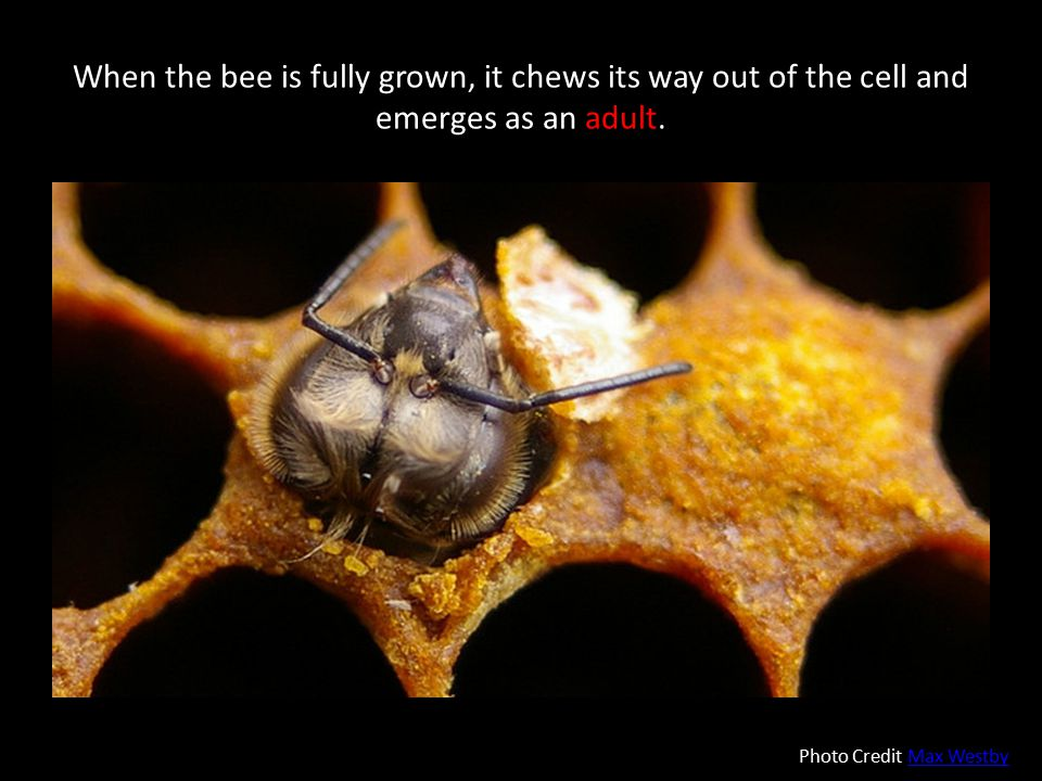 When the bee is fully grown, it chews its way out of the cell and emerges as an adult.