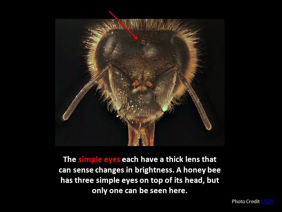 The simple eyes each have a thick lens that can sense changes in brightness. A honey bee has three simple eyes on top of its head, but only one can be