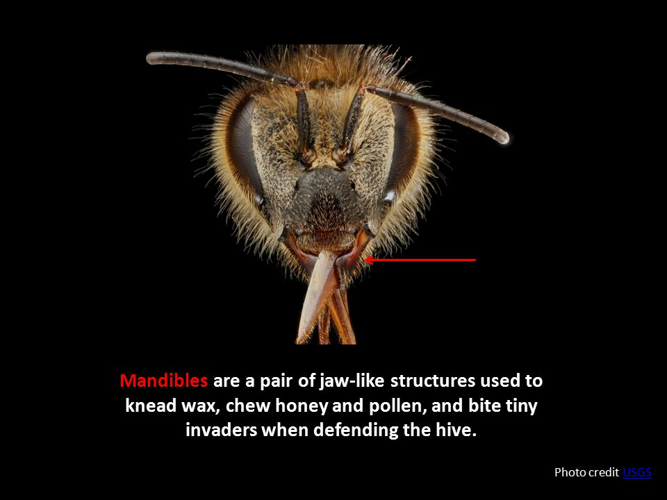 Mandibles are a pair of jaw-like structures used to knead wax, chew honey and pollen, and bite tiny invaders when defending the hive. Photo credit USG