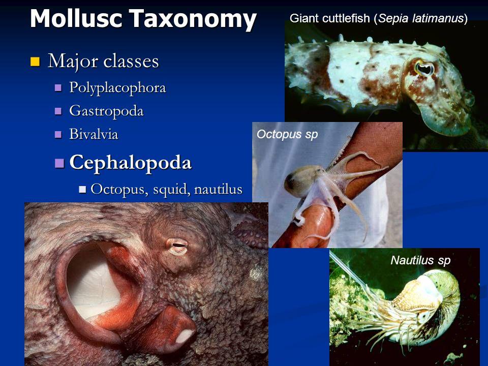 Mollusc Taxonomy Major classes Major classes Polyplacophora Polyplacophora Gastropoda Gastropoda Bivalvia Bivalvia Cephalopoda Cephalopoda Octopus, squid, nautilus Octopus, squid, nautilus Giant cuttlefish (Sepia latimanus) Nautilus sp Octopus sp