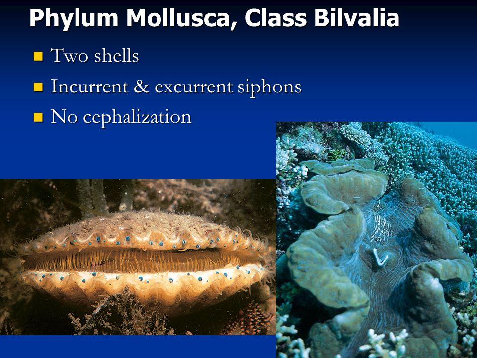 Phylum Mollusca, Class Bilvalia Two shells Two shells Incurrent & excurrent siphons Incurrent & excurrent siphons No cephalization No cephalization