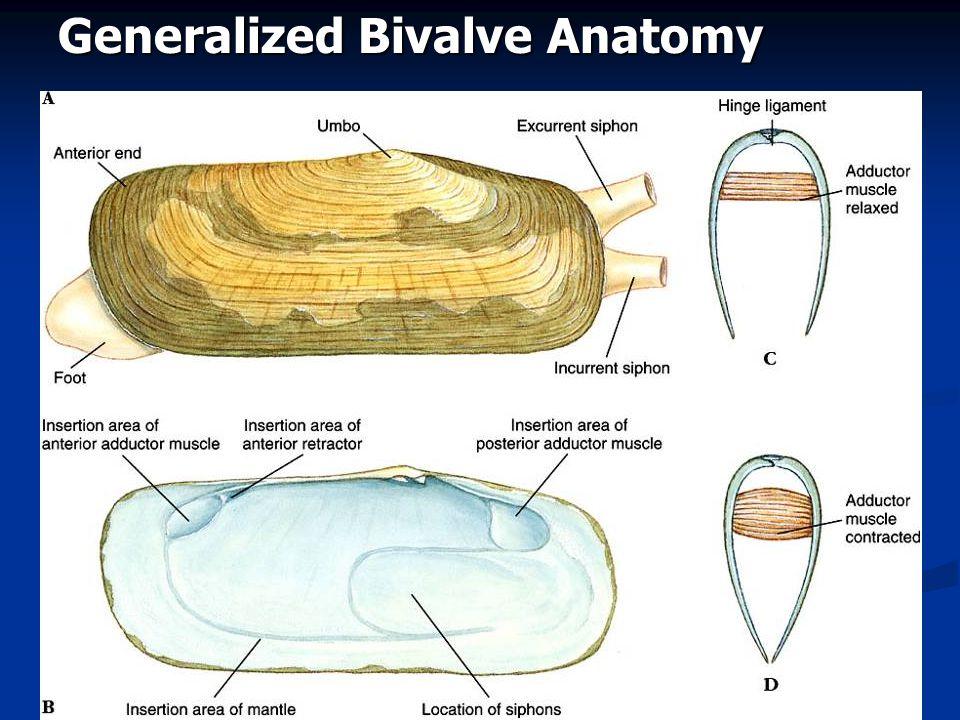 Generalized Bivalve Anatomy