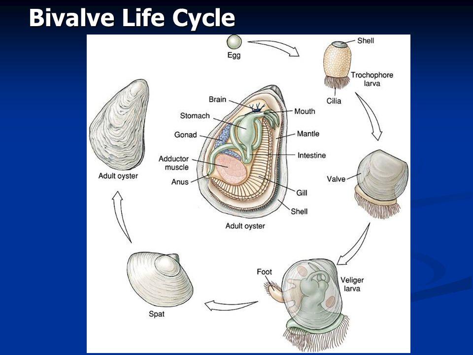 Bivalve Life Cycle