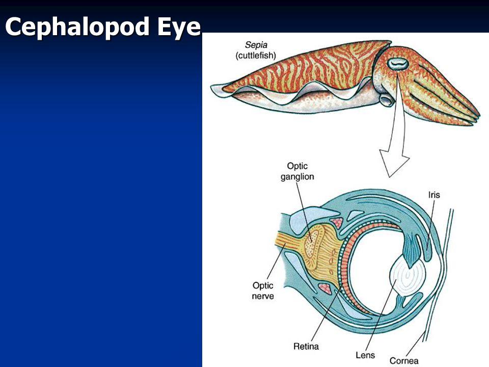 Cephalopod Eye