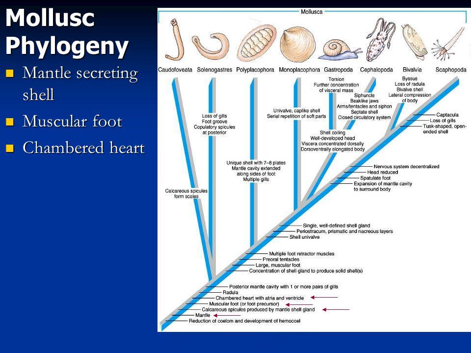 Mollusc Phylogeny Mantle secreting shell Mantle secreting shell Muscular foot Muscular foot Chambered heart Chambered heart