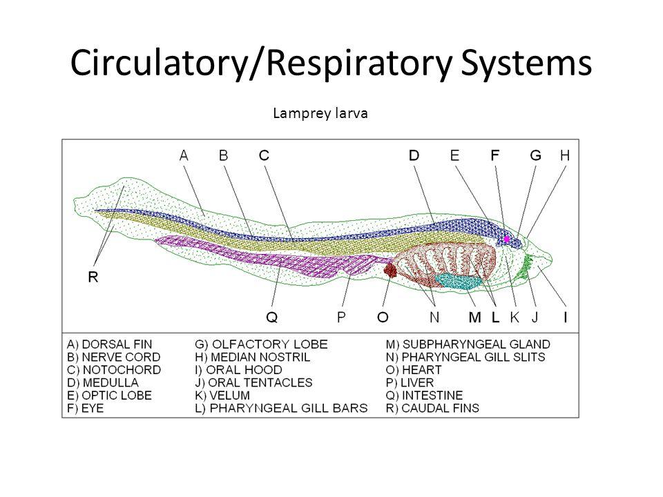 Circulatory/Respiratory Systems Lamprey larva