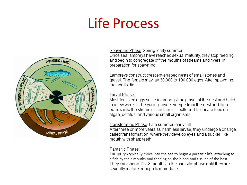 Diet/Nutrition Larva Phase: algae, detritus and various small organisms Parasitic Phase: feed off host (fish) One lamprey can consume over 40 pounds of fish in its lifetime Spawning phase: No feeding