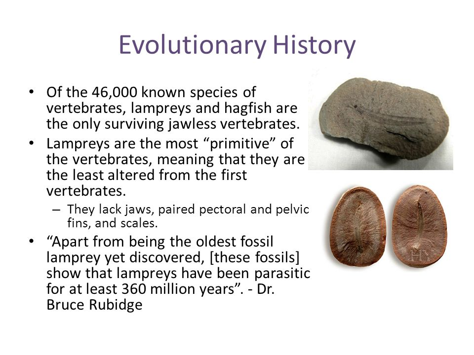 Evolutionary History Of the 46,000 known species of vertebrates, lampreys and hagfish are the only surviving jawless vertebrates. Lampreys are the mos