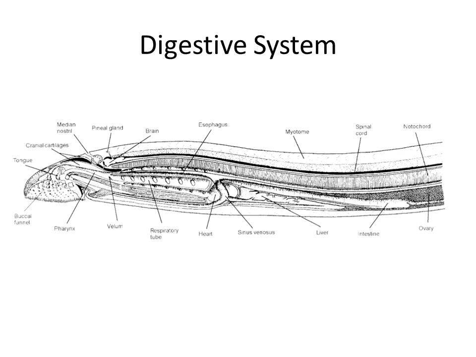 Nervous system Lamprey s have a primitive vertebrate nervous system, meaning the brain structure is fairly simple compared to other vertebrate animals System consists of the brain and a hollow spinal cord – Situated above the alimentary canal.