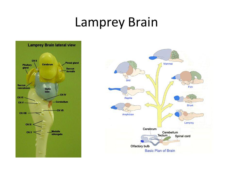 Lamprey Brain