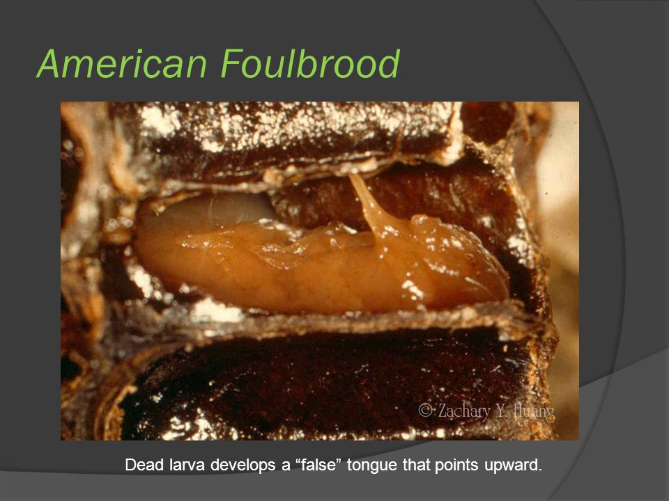 "American Foulbrood Dead larva develops a ""false"" tongue that points upward."
