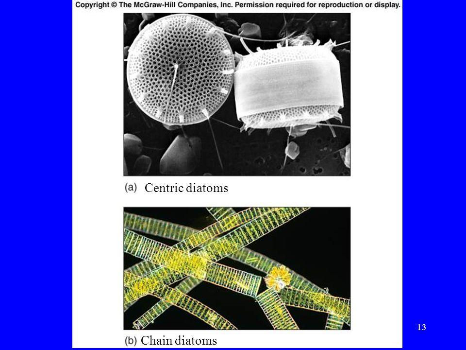 Centric diatoms Chain diatoms 13