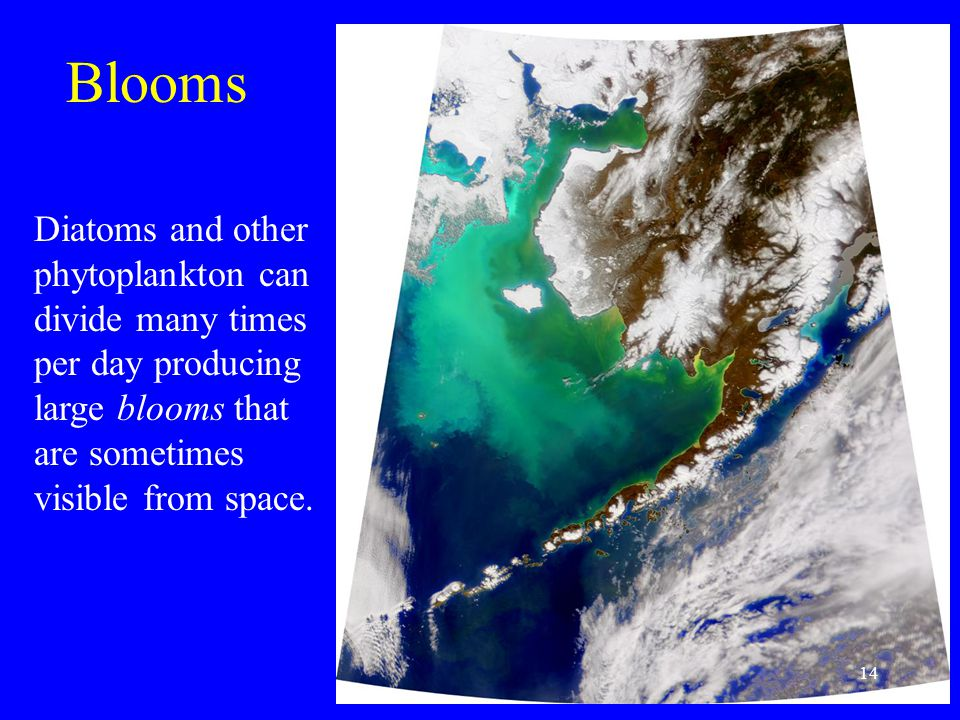 Diatoms and other phytoplankton can divide many times per day producing large blooms that are sometimes visible from space. Blooms 14