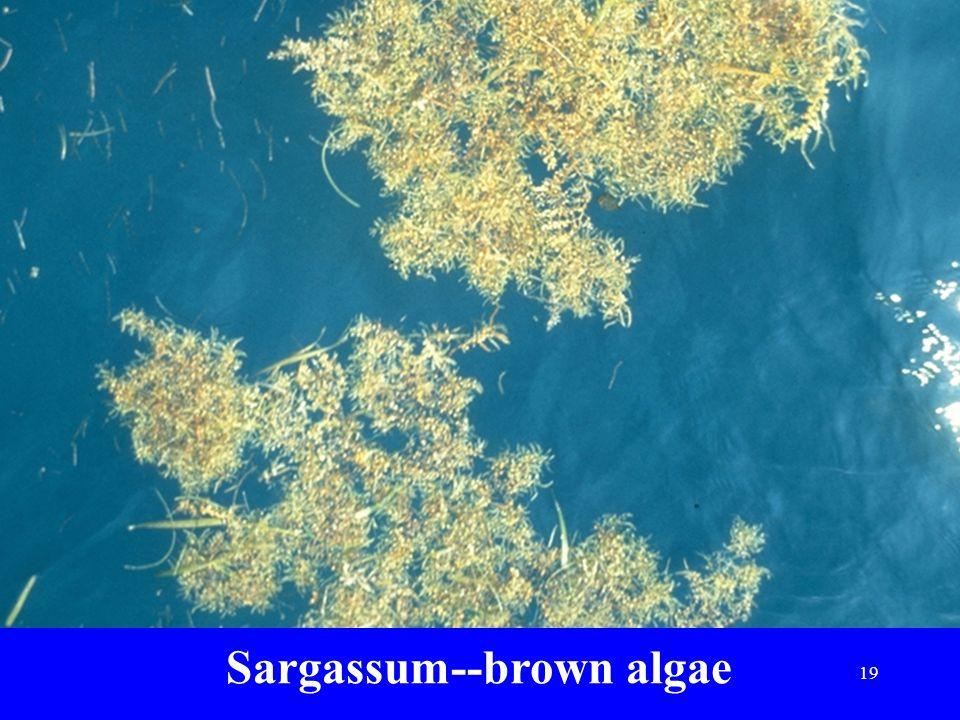 Sargassum--brown algae 19
