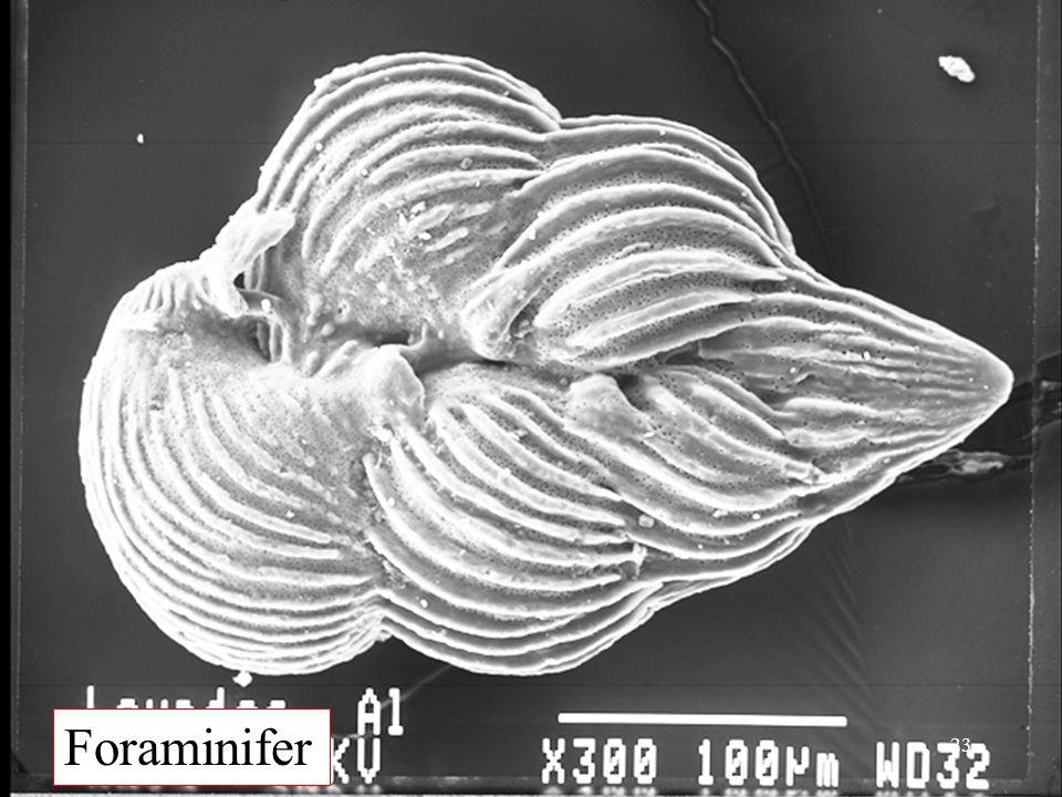 Foraminifer 23