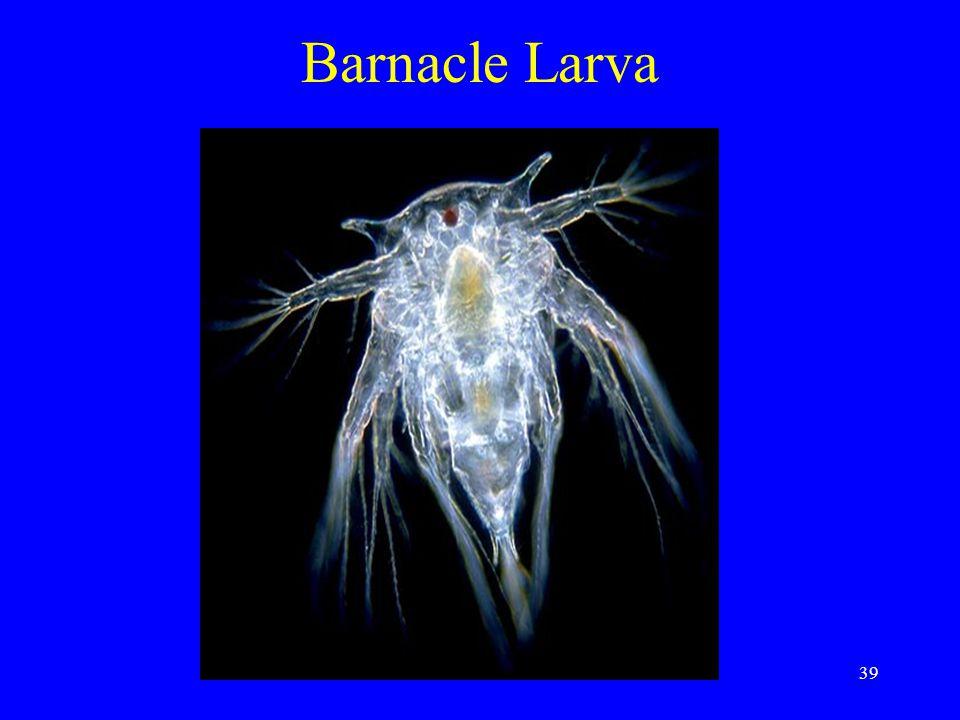 Barnacle Larva 39