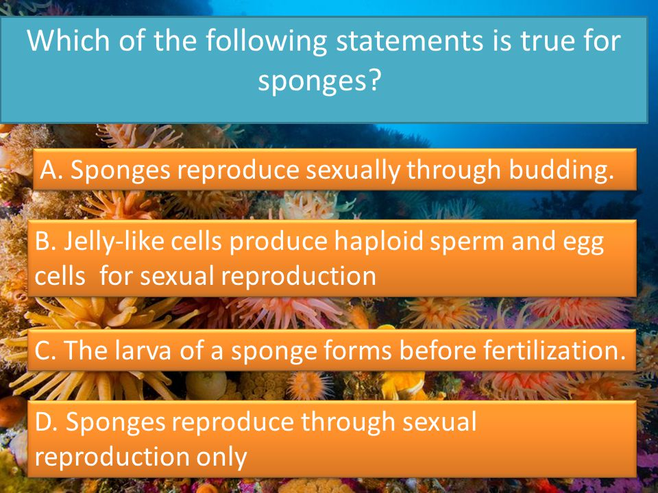 Which of the following statements is true for sponges.