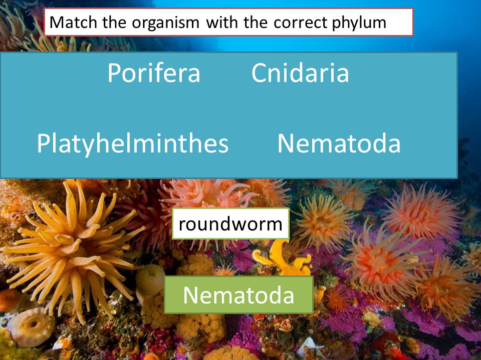 PoriferaCnidaria PlatyhelminthesNematoda Match the organism with the correct phylum roundworm Nematoda