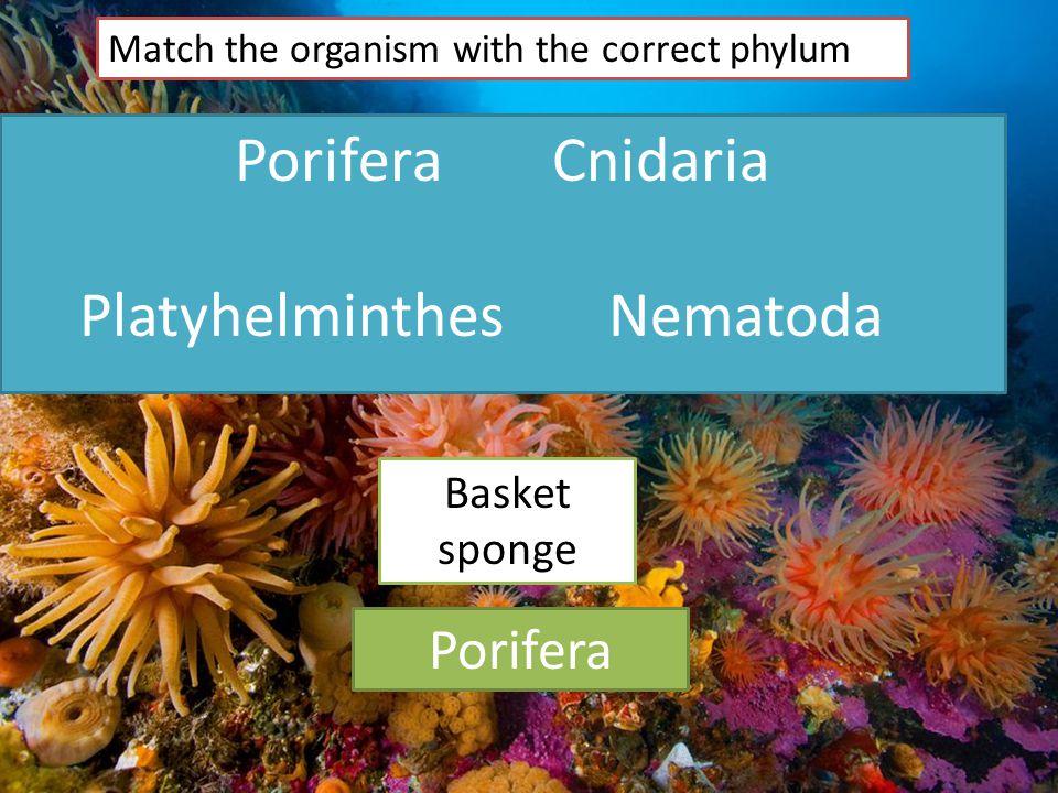 PoriferaCnidaria PlatyhelminthesNematoda Match the organism with the correct phylum Basket sponge Porifera