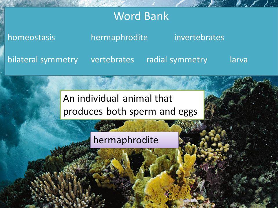 Word Bank homeostasishermaphroditeinvertebrates bilateral symmetryvertebratesradial symmetrylarva An individual animal that produces both sperm and eggs hermaphrodite