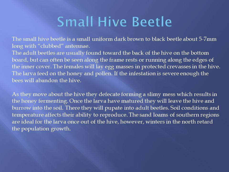 """The small hive beetle is a small uniform dark brown to black beetle about 5-7mm long with """"clubbed"""" antennae. The adult beetles are usually found towa"""