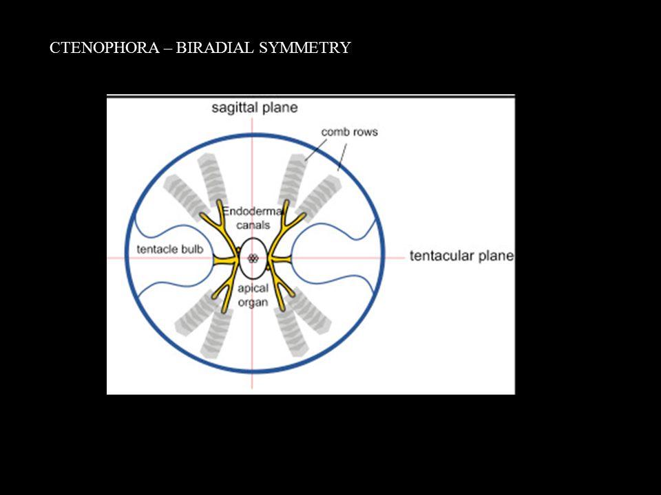 CTENOPHORA – BIRADIAL SYMMETRY
