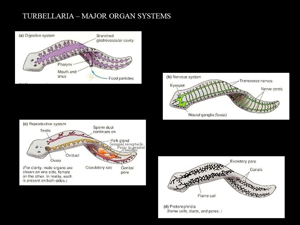 TURBELLARIA – MAJOR ORGAN SYSTEMS