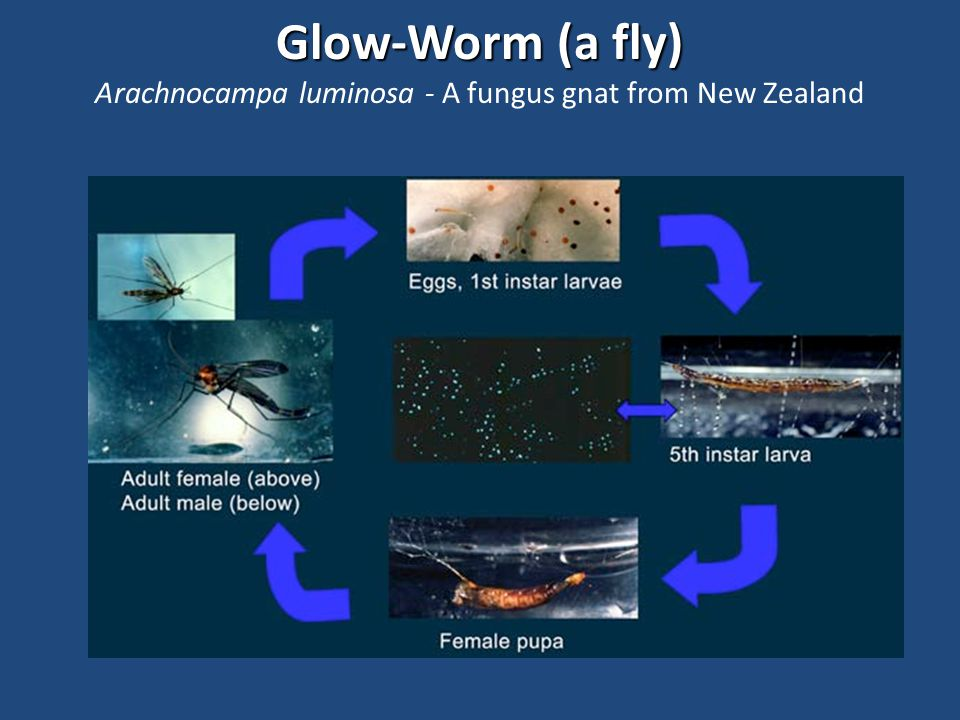 Glow-Worm (a fly) Glow-Worm (a fly) Arachnocampa luminosa - A fungus gnat from New Zealand