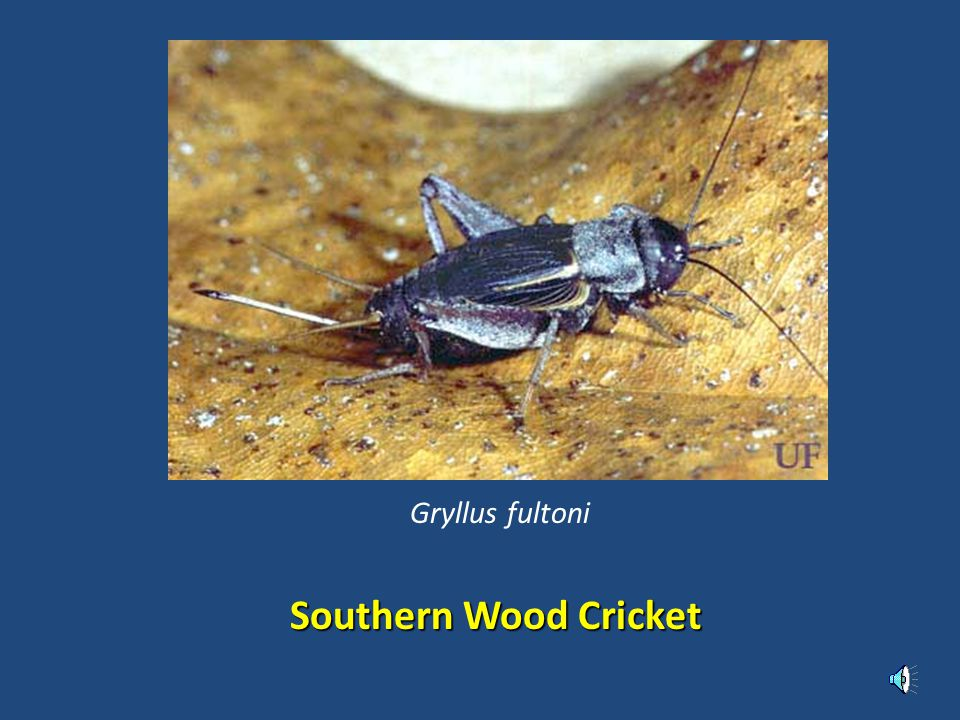 Southern Wood Cricket Gryllus fultoni