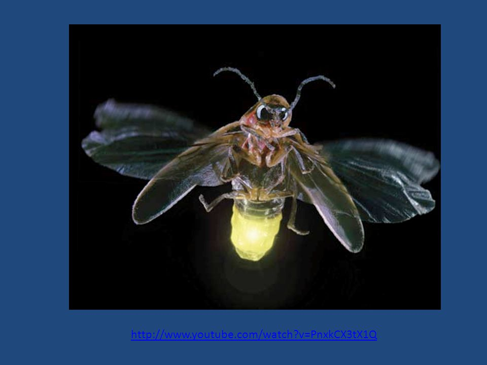 Communication with LIGHT Fireflies & Glow-worms Misnomer – neither Fire, nor are they Flies (well, sometimes they are) Coleoptera (Beetles) – families Lampyridae Phengodidae Utilize bioluminescence for sexual communication.