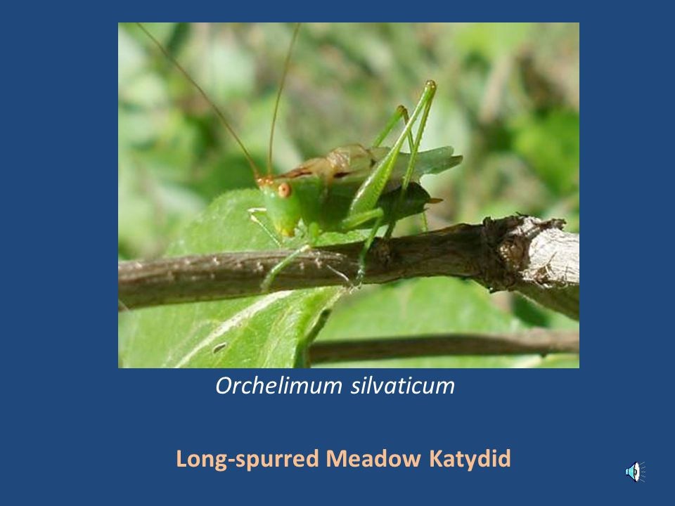Long-spurred Meadow Katydid Orchelimum silvaticum