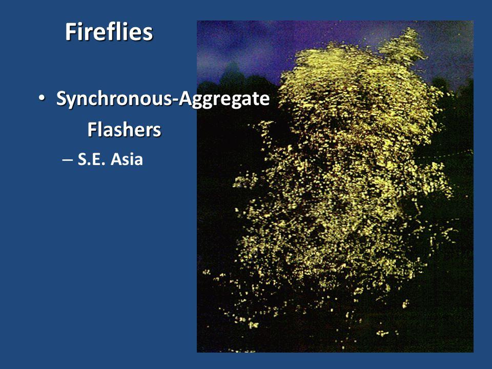 Fireflies Synchronous-Aggregate Synchronous-AggregateFlashers – S.E. Asia