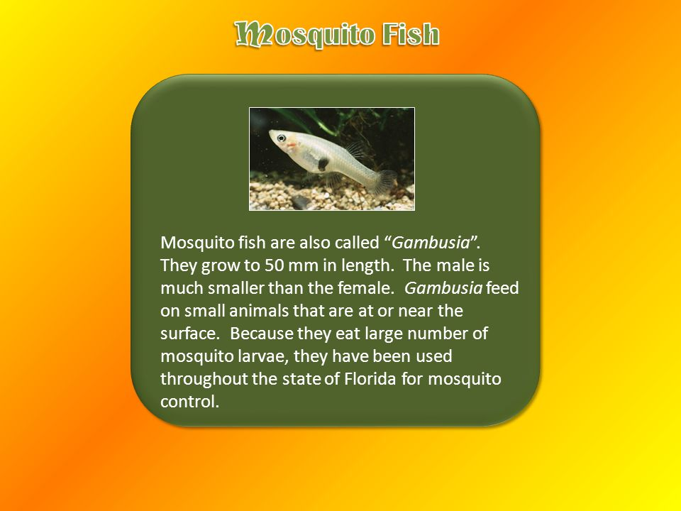 Mosquito fish are also called Gambusia . They grow to 50 mm in length.