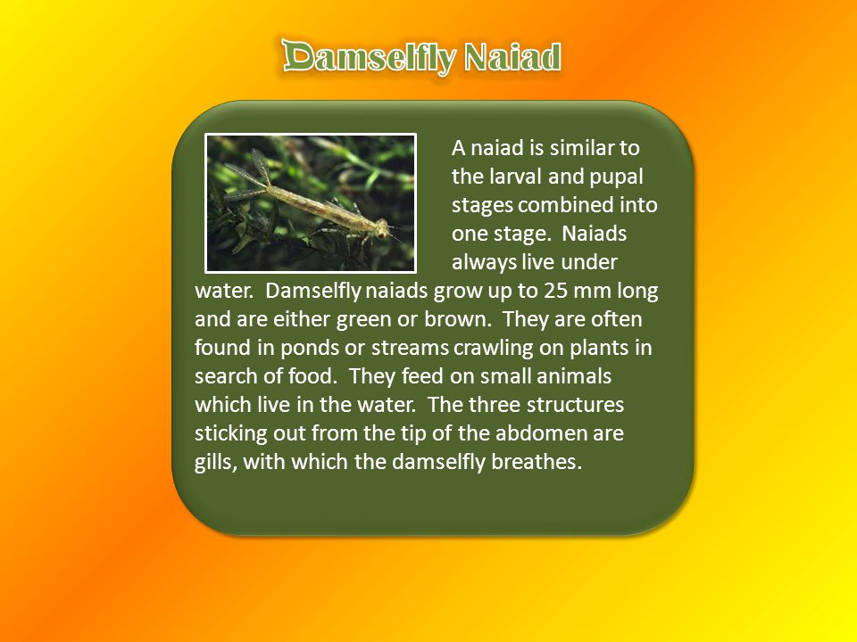 A naiad is similar to the larval and pupal stages combined into one stage.