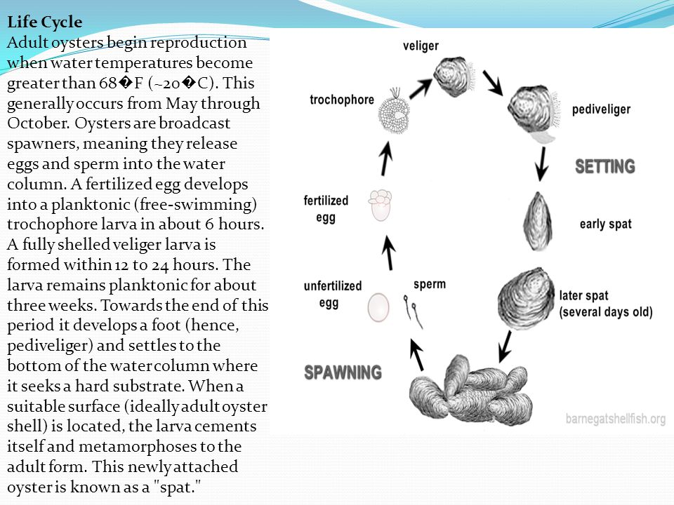 Life Cycle Adult oysters begin reproduction when water temperatures become greater than 68 � F (~20 � C). This generally occurs from May through Octob